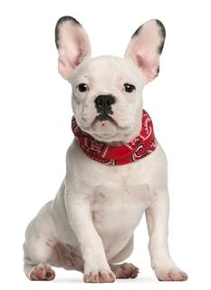 Cachorro buldog francés luciendo un pañuelo rojo.
