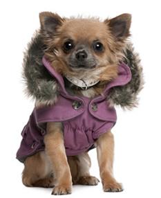 Chaqueta para perrito con gorra.