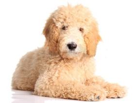 Cachorro de pelo blanco rizado.