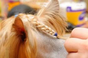 Pelo de perro con peinado en la peluquería.