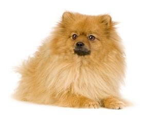 Perro Pomeranian como el rey de la selva.