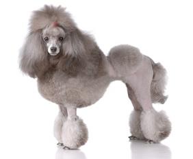 Perro Poodle con corte estilo continental.