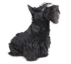Terrier Escocés saliendo de la peluquería.