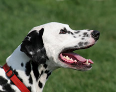 Perro Dálmata con collar rojo.